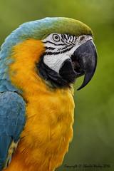 Mac (wesjr50) Tags: nature canon wildlife flash 7d l mm usm 500 beamer captive macaw better ef f4