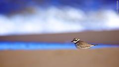 Plover's Progress (Osprey-Ian) Tags: newbrunswick semipalmatedplover bouctouche