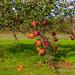 Autumn in Copenhagen - Delicious red apples