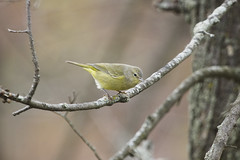 Orange-crowned Warbler (GWD Photography) Tags: bird canon pennsylvania pa 7d warbler oldcrow huntingdon 100400