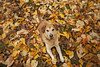 Leaf the smiling to Juneau (miss_n_arrow) Tags: autumn dog color fall colors leaves mix husky bright canine huskador