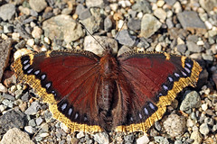 Mourning Cloak (Dave Trono) Tags: autumn macro canon butterfly bug insect newengland newhampshire nh 2014 mourningcloak nymphalis nymphalisantiopa canoneos6d canonef100mmf28lmacrois davetrono