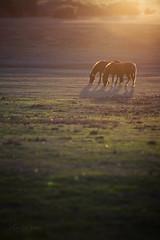 The golden hour (kerto.co.uk) Tags: sunset canon landscape sunny pony ponies nationaltrust newforest naturesfinest atsunset kerto englishlandscape natureselegantshots canon5dmarkiii canon5diii canon5dmark3 poniesinfield