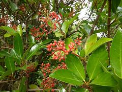 Viburnum odoratissimum Ker Gawl. 1820 (ADOXACEAE) (helicongus) Tags: spain viburnum viburnumodoratissimum adoxaceae jardínbotánicodeiturraran