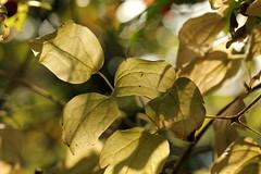 Fading Green (gripspix (OFF)) Tags: leaves laub autumnleaves foliage bltter bleached herbstlaub ausgebleicht 20141029