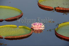 60069607 (wolfgangkaehler) Tags: pink brazil lake plant flower southamerica water pond waterlily waterlilies brazilian northern matogrosso largest southamerican aquaticplant giantwaterlily portojofre victoriaamazonicawaterlily northernpantanal