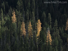 "Golden Larch stands • <a style=""font-size:0.8em;"" href=""http://www.flickr.com/photos/63501323@N07/15658370515/"" target=""_blank"">View on Flickr</a>"