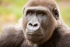 2014-09-19-12h39m08.272P3861 (A.J. Haverkamp) Tags: germany zoo gorilla hannover dierentuin westelijkelaaglandgorilla kiburi httpwwwzoohannoverde pobhannovergermany dob27062004 canonef500mmf4lisiiusmlens