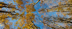 Upside Down: Autumn Leaf Color. (theSnoopyG - thanks for over 300.000 views!) Tags: wood autumn trees italy panorama tree nature look leaves foglie forest landscape gold golden leaf woods italia novembre upsidedown natura autumnleaves panoramica land environment birch autunno goldenautumn appennino emiliaromagna birchtrees bosco birchtree ambiente foresta ottobre apennine appennini apennines betulla pianedimocogno boschi autunnale sottosopra betulle capovolto appenninoemiliano appenninomodenese lasantona lamamocogno platinumheartaward autumnleafcolor autumnleafcolour thebestofday gnneniyisi rockpaperexcellence