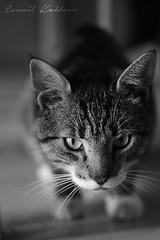 Cat, Animal
