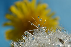 Yellow and Blue (Leela Channer) Tags: blue brown white plant flower reflection nature water beauty rain yellow silver dewdrops pretty bokeh dandelion dew refraction raindrops droplet waterdrops