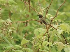 Ruby-throated Hummingbird Perched (Bill Bunn) Tags: maine falmouth rubythroatedhummingbird