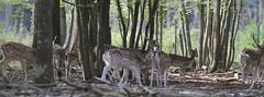 IMG_4740 (minions) Tags: rambouillet 2016 parc animaux cervids