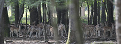 IMG_4715 (minions) Tags: rambouillet 2016 parc animaux cervids
