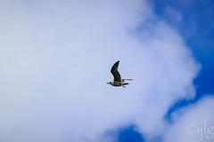 18092016DSC_1094.jpg (Ignacio Javier ( Nacho)) Tags: pginafotografia gaviotas facebook aves flickr faunayflora santander cantabria espaa es