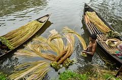 Harvesting Water Lily! (ashik mahmud 1847) Tags: bangladesh d5100 nikkor water boat people man flower working waterlily