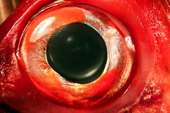 The eye of red snapper  (DigiPub) Tags: m20161005