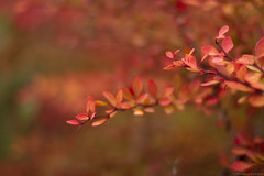 Autumn reds (moniverse) Tags: 50mm october fall autumn season nature trees leaves branches bokeh light morning golden yellow orange plant outdoor dof canon7d
