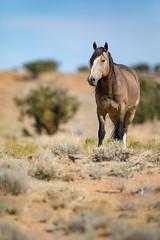 Looking Down at Me (jeff_a_goldberg) Tags: utah sanrafaelswell wildlife nature mustangs horses horse stallion mustang greenriver unitedstates us