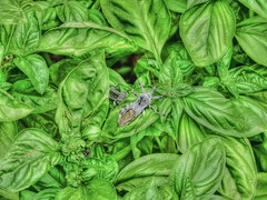 Assassin in the Basil (clarkcg photography) Tags: green gorgeousgreenthursday bug assassin insect adult nesting basil leaf leaves