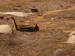 P1240520.jpg (NKSwampie) Tags: 2016 20thseptember california goldenmantledgroundsquirrel september yosemite wisebirding