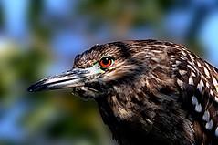 DSC_0063 Heron (tsuping.liu) Tags: outdoor birds nature natureselegantshots naturesfinest photoborder perspective pattern photographt animal