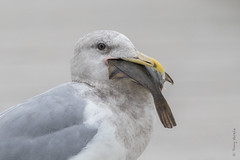 Glaucous-winged gull  (Larus glaucescens) (Tony Varela Photography) Tags: glaucouswingedgull gullwithfish larusglaucescens photographertonyvarela gull