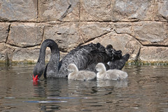 Daddy in charge (kailhen) Tags: blackswan swan cygnets fluffy swimming water reflections dawlish devon nature birds black white grey