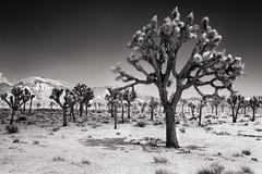 Joshua Tree IR (*trevor) Tags: 2016 america california desert fujifilm ir joshuatree mojave nps usa xseries xt1 yuccabrevifolia bw infrared monochrome