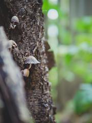 Upstairs neighbors (Vincent F Tsai) Tags: mushroom fungi cap tree vertical cute woods forest tiered small bokeh dof hike walk nature mountain panasonic leicadgsummilux25mmf14 lumix gx8 microfourthirds mirrorless travel