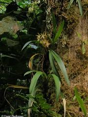 Odontoglossum constrictum floreciendo en su habitat, estado Trujillo, Venezuela.  Distribución: endémica de Venezuela entre 1800 y 2300 m snm (los registros para Colombia y Ecuador son probablemente erróneos siendo muy lejos de Venezuela) (David Haelterman) Tags: venezuela1 orchid orquídeas orchidée odontoglossum constrictum odontoglossumconstrictum epiphyte epifíta insitu