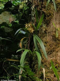 Odontoglossum constrictum floreciendo en su habitat, estado Trujillo, Venezuela.  Distribución: endémica de Venezuela entre 1800 y 2300 m snm (los registros para Colombia y Ecuador son probablemente erróneos siendo muy lejos de Venezuela)