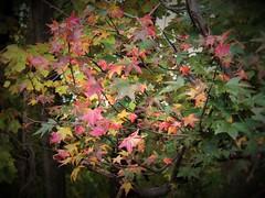 Autumn pastel (MissyPenny) Tags: autumn trees leaves pennsylvania buckscounty bristolpennsylvania usa