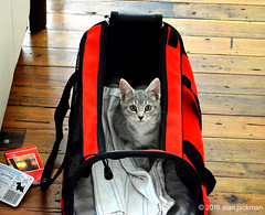 Hurry Up, Let's Go!  Oscar's First Trip (alan jackman) Tags: oscar cat notmycat alanjackman jackmanonjazz feline kitten relaxed nikon d7000 nikkor 1855mm comfortable carrier transporter bag eyes whiskers cambridge massachuisetts marthasvineyard travel trip nose ears capecod