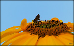 Tiny moth on a big Sunflower! (SuperDave!!) Tags: sunflower flower yellow moth insect pollen pollinate 2016 cdeii