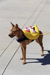 rana-5865 (angelsrescue) Tags: aau pets angels among us pet rescue alpharetta ga dog love