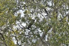 F7K_6180 (68photobug) Tags: 68photobug nikon d7000 nikkor 28300mm usa centralflorida polkcounty lakeland circlebbar reserve preserve refuge park marsh sanctuary wetlands pinescrub nature naturecenter discoverycenter environmentalcenter wildlifemanagement alligatoralley mammal coon raccoon acorn oak