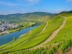 Moselblick (1) (menzelhd) Tags: mosel pünderich rheinlandpfalz deutschland weinbau wein weinberg weinstock rebe traube winzer herbst weinbeeren moseltal lese