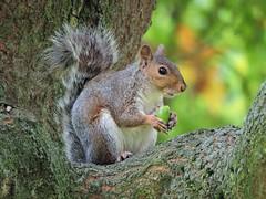 Grey squirrel (PhotoLoonie) Tags: squirrel greysquirrel britishwildlife ukwildlife wildlife britishwildanimal animal ukanimal wildanimal