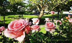 147. ROSES: I Promised You A Rose Garden (www.YouTube.com/PhotographyPassions) Tags: flowers blossoms plant blooms outdoor flower roses pinkroses rose bush shrub garden rosegarden mlpphflora flora landscape roseperfume rosescent bedofroses mlpphlandscape