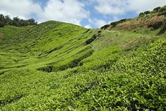 Cameron Valley Tea Plantation (ShingYee Chuah) Tags: nature travel outdoor tea teaplantation cameronhighland green hill canon eos 550d