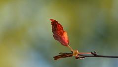 Crabapple Leaf (Sandra_Gilchrist) Tags: sandragilchrist leaf crabapple red green blue yellow bokeh shallowfocus fallcolours fallcolors fallleaves fall