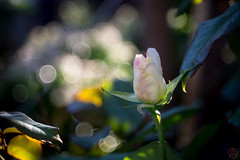 ILCE-6000-20161129-06584 // Carl Zeiss Jena Tessar 50mm 1:2.8 (Otattemita) Tags: 50mmf28 carlzeissjena carlzeissjenatessar50mmf28 florafauna flower nature plant wildlife carlzeissjenatessar50mm128 sonyilce6000 ilce6000 sony 50mm
