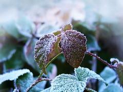 Cold (R_Ivanova) Tags: nature macro leaf cold color winter ice garden sony plant rivanova риванова природа макро лед скреж