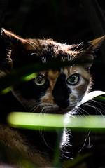 Cats (Marcos Simanovic) Tags: cat cats gata gatas gato gatos felina felinos felino close portrait pet pets animal animais animals parquedaindependncia brasil simanovic