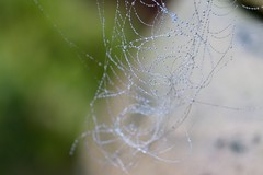 """String of Pearls"", Upper Cwmbran 6 December 2016 (Cold War Warrior) Tags: mist web spider droplet macro"
