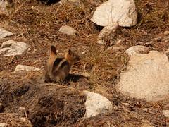 P1240528.jpg (NKSwampie) Tags: 2016 20thseptember california goldenmantledgroundsquirrel september yosemite wisebirding