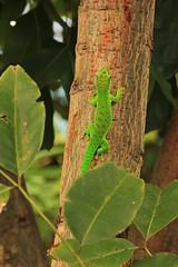 Le grand Gecko vert malgache (Tordobal84) Tags: phelsuma madagascariensis grandis gecko vert malgache reunion saint andr 974 ocean indien