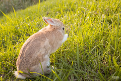IMG_1594.jpg (ina070) Tags: animals canon6d cute grass outdoor outside pets rabbit rabbits