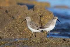 bcasseau variable ( Calidris alpina ) Erdeven 161105o2 (pap alain) Tags: oiseaux chassiers charadriids bcasseauvariable calidrisalpina dunlin erdeven morbihan bretagne france